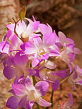 Orchid Dendrobium Royalty Free Stock Photo