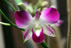 Orchid Dendrobium Royalty Free Stock Photography