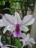 Orchid Dendrobium in orchid house Stock Photography
