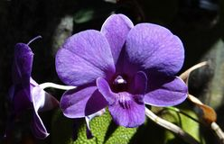 Orchid, Dendrobium, Purple Stock Images