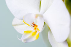 Orchid detail. Stock Image