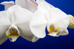 Orchid Detail Royalty Free Stock Image