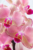 Orchid. Detail of pink-purple orchid blooms Stock Photography