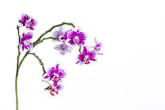 Orchid detail on white backdrop Royalty Free Stock Image