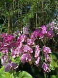 Orchid Display at Singapore Botanical Gardens Royalty Free Stock Photos