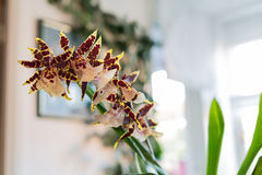 Orchid in domestic flat Stock Image