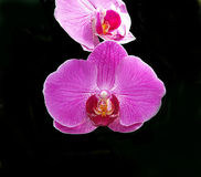 Orchid X Doritaenopsis 'Dorado' Flower royalty free stock images
