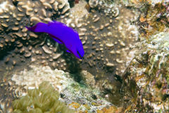 Orchid dottyback Royalty Free Stock Photos