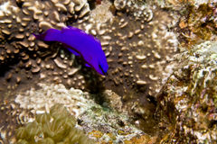 Orchid dottyback (pseudochromis fridmani). Taken in Middle Garden Royalty Free Stock Photography