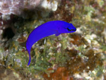 Orchid dottyback Royalty Free Stock Images
