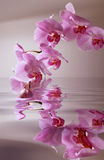 Orchid with drops in flood. Pink orchid over white with water flood stock images
