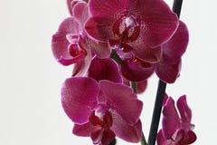 Orchid?e pourpr?e sur le fond blanc images libres de droits
