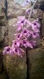 Orchid?e pourpre photo stock