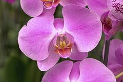 Orchid?e rose photo stock