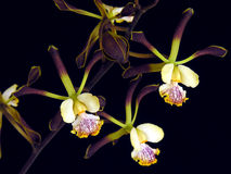 Orchid: Encyclia alata. Dark form. From Honduras, Central America Stock Photography