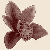 Orchid engraving Stock Images