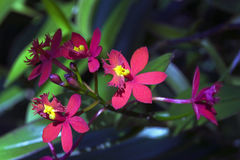 Orchid of the Epidendrum genus originating from the Americas Royalty Free Stock Images
