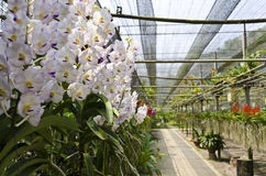 Orchid farm. White orchids above the pavement In plantation Stock Photography