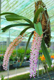 Orchid farm Stock Images