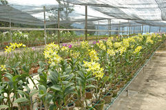 Orchid farm. A roll of yellow orchid in orchid farm stock photo