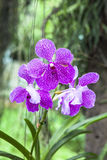 Orchid Farm in Chiang Mai Stock Image