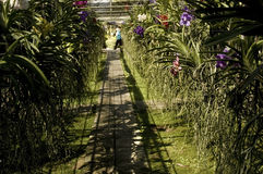 Orchid Farm. In Chiang Mai, Thailand. Rows and rows of colorful orchids Royalty Free Stock Photography