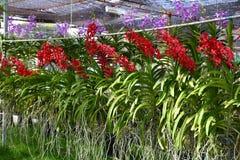 Orchid farm Stock Photo