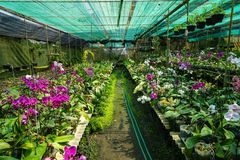 Orchid farm row full of blooming and budding purple and white Phalaenopsis orchid flower and green leaves on humid ground Stock Photo