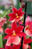 Orchids - favourite ornamental indoor plants Stock Photography
