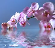 Orchid in flood. Pink orchid around blue water Royalty Free Stock Photography