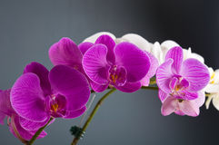 Orchid flower royalty free stock photography