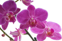 Orchid flower Royalty Free Stock Image