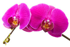 Orchid flower. Royalty Free Stock Images