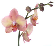 Orchid flower Stock Photography