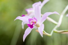 Orchid flower. Gorgeous elegant orchid flower in garden Stock Photography