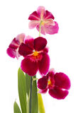 Orchid flower. Orchids flowers miltonia orchid flower, isolated on white background Royalty Free Stock Photo