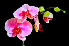 Orchid flower. On a black background Stock Photo