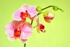 Orchid flower isolated. Flower of an orchid close up Stock Photography