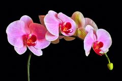 lilac orchid on a black background. Orchid flower on a black background Royalty Free Stock Photography