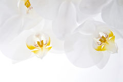 Orchid flower. Houseplant white flower orchid scientific name Phalaenopsis royalty free stock photo