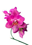 Orchid flower. Purple orchid phalaenopsis over white background Royalty Free Stock Photo