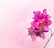 Orchid flower. Purple orchid phalaenopsis over soft bokeh background Royalty Free Stock Photos