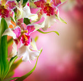 Orchid Flower. Beautiful Orchid Flower Border Desigh Royalty Free Stock Photos