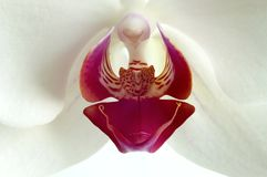 Orchid flower. On a white background Royalty Free Stock Image