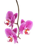 Orchid flower. Isolated on white background Royalty Free Stock Image