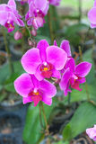 Orchid flower. The pink Orchid flowers plant Stock Photo