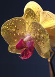 Orchid flower. With dew drops on the petals Stock Photography
