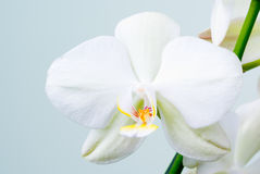 Free Orchid Flower. Stock Photography - 4962872
