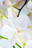 Orchid flower. Royalty Free Stock Photo