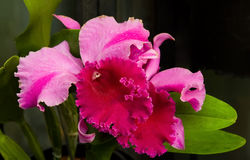Orchid flower. (Laeliocattleya g. Windchimes Stock Photos